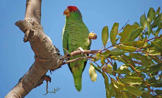 San Diego's Green Parrots