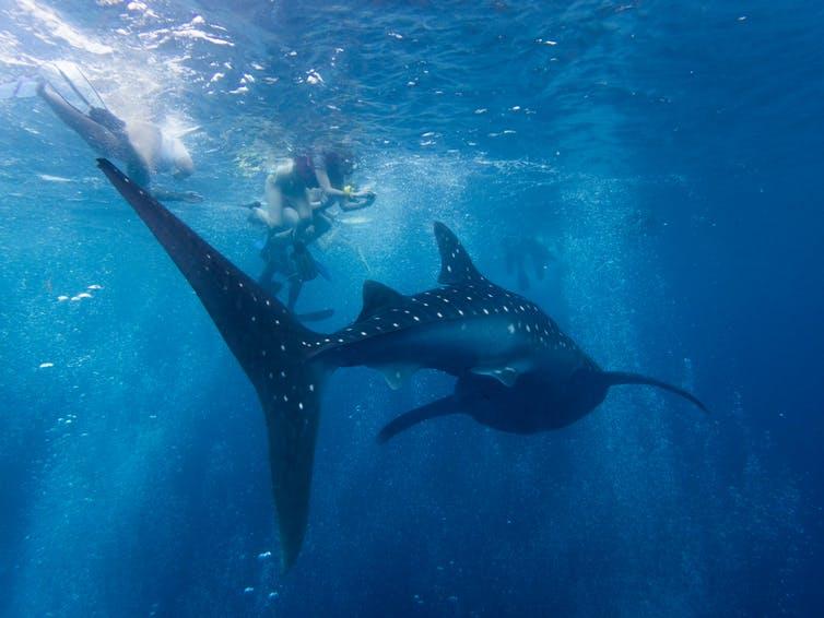 Where do Whale Sharks Gather?